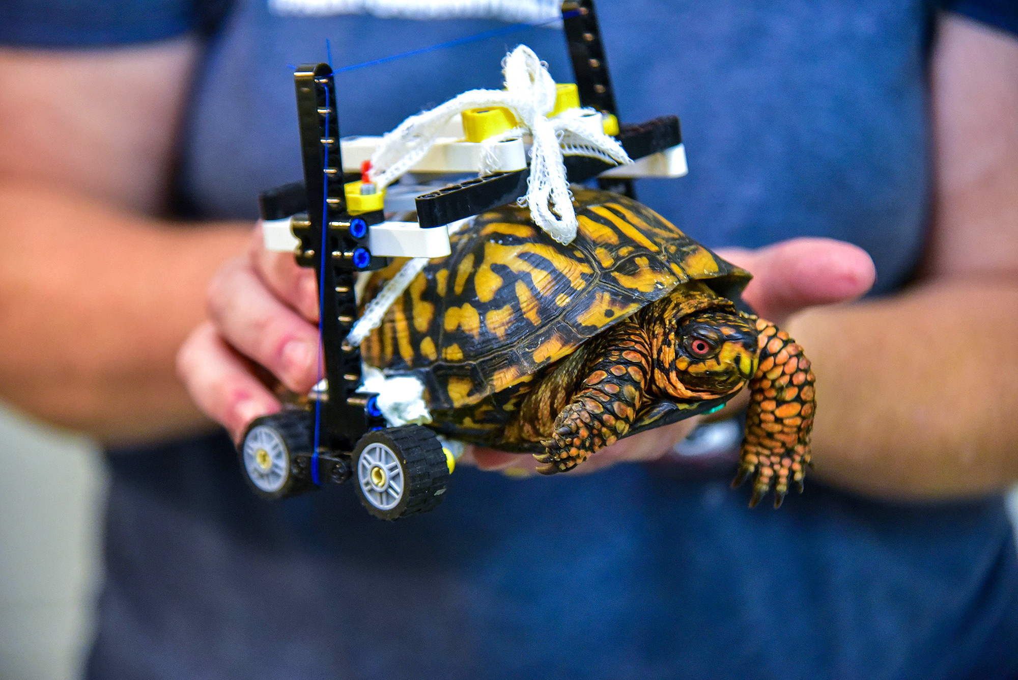 A US tortoise has been given a second chance, thanks to LEGO®