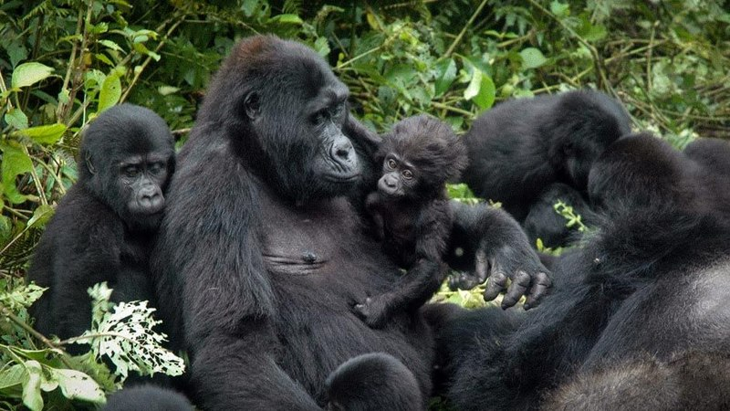 Increases the population of mountain gorillas to more than 1000 specimens