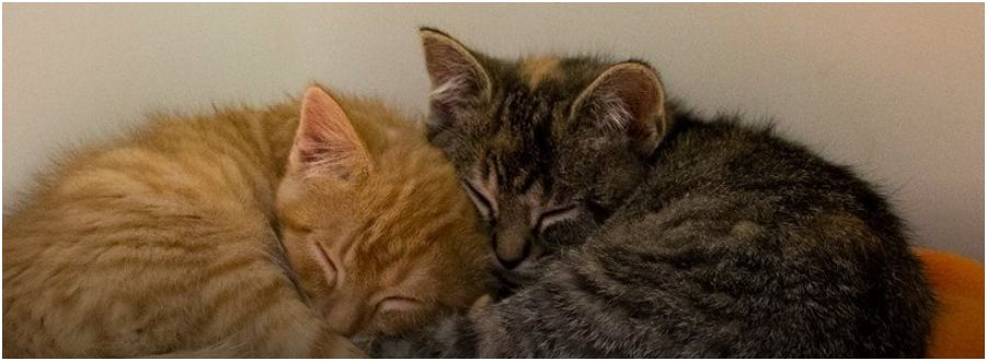 Kitten Cries All Night For His Sister, The Same Family Adopted Her